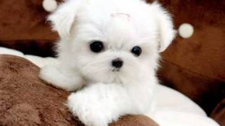 Tiny Teacup Maltese For Sale Ms Puppy Connection