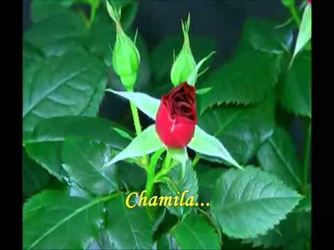 Rosa Male Natwe Katu- වන බඹරෝ ඔහොම හිටු--  Anasley Malewana  .