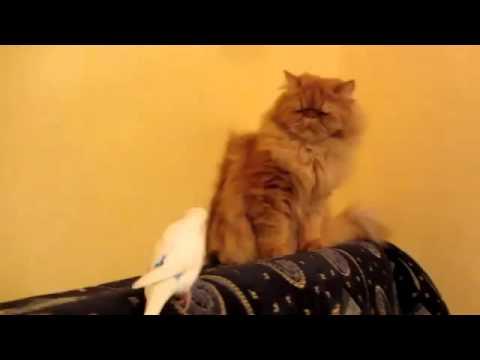 Смотреть видео попугай с котом