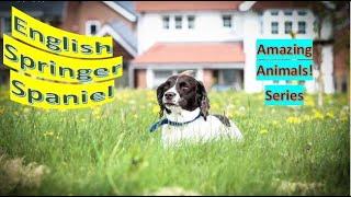 English Springer Spaniel   Amazing Animals   Pet Dogs