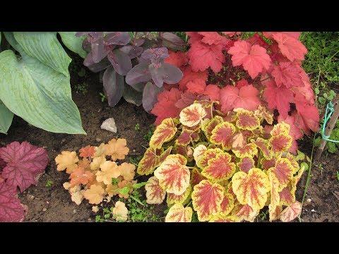 Саженцы цветов по почте  Сажаем гейхеры