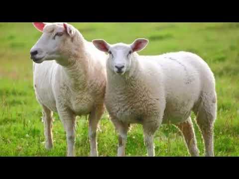 koyun kuzu meleme sesi