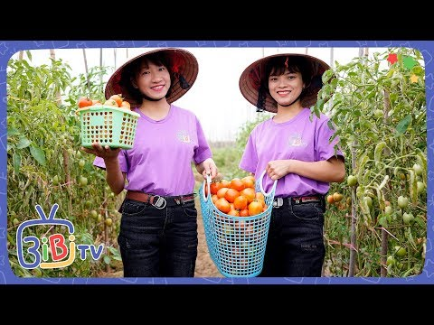 Chị Hằng Và Chị Tuyết Đi Hái Cà Chua ❤ BIBI TV ❤