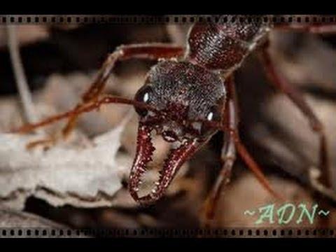 Des fourmis tueuses documentaire complet en francais   YouTube 2