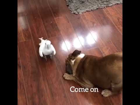 Joey Brooks - Bulldog Plays with Dancing Cockatoo