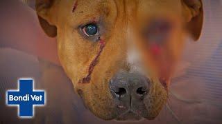 Callous Burglars Attack Innocent Dog! | Bondi Vet