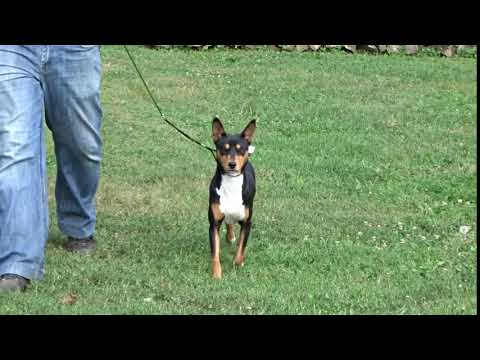 Cheerokee the Basenji puppy for sale by Euro Puppy