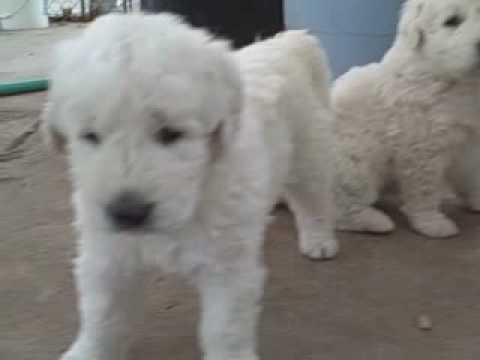 Kuvasz Puppies First Time Out Of The House Youtube