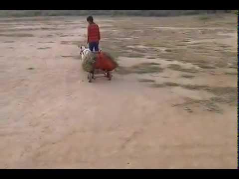 Indian Deshi Dog funny Video 2015 thumbnail