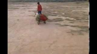 Indian Deshi Dog funny Video 2015