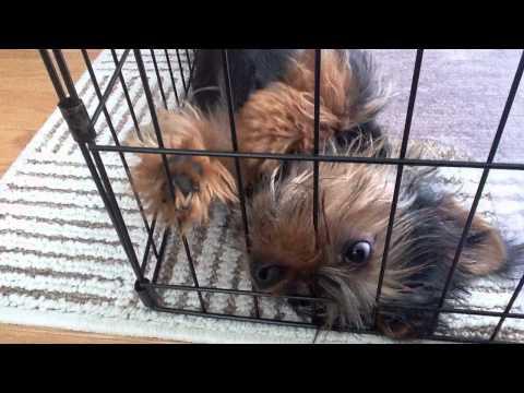 PEPE My Australian Silky Terrier Puppy