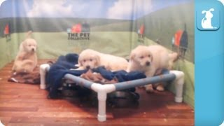 Golden Retriever Puppies - Time Lapse