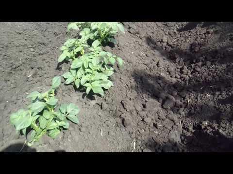Вопрос: Картофель можно сажать под чёрный спанбонд Если да, то как Удобно ли?
