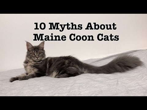 10 Myths About Maine Coon Cats
