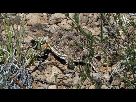 A Visual Ode To The Horny Toad