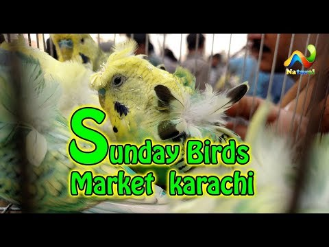 Lalukhet Birds Market Price | Hagoromo budgies Parrot For Sale 18 February 2018 HD
