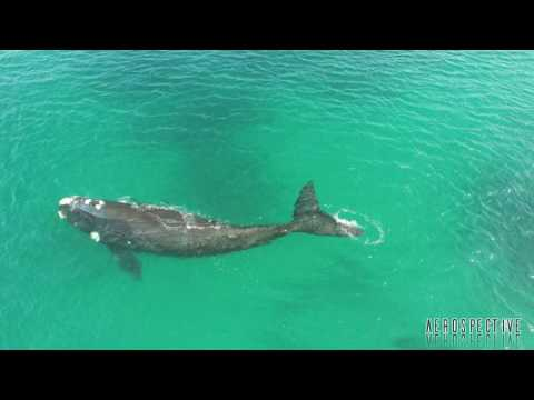 Southern Right Whale From Above, Cape Town South Africa