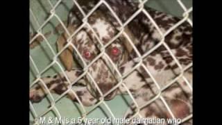 Dalmatian Rescue