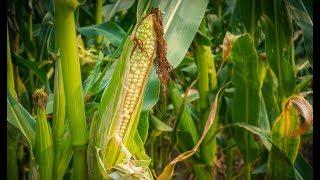 Белорусские аграрии приступили к посеву кукурузы
