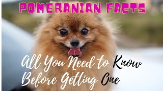 Facts About Pomeranian Dogs 101-All You Need to Know