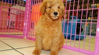 Golden Doodle, Puppies, For, Sale, In, Charlotte, North Carolina, Nc, Lexington, Clemmons, Fuquay Va