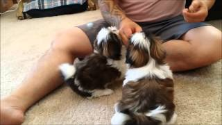8 week old Shih Tzu Puppies learn some basic obedience