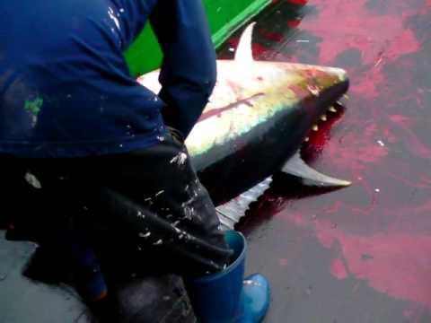 Ikejime Spiking A Bigeye Tuna