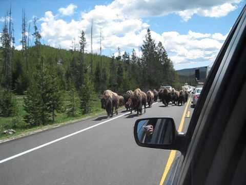 Bison Herd Stampedes Down Road in Yellowstone