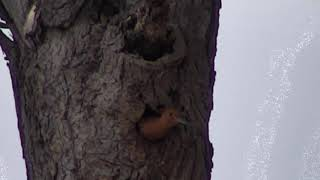 Djuma: African Hoopoes nesting at hole in tree - 08:41 - 11/12/18 thumbnail