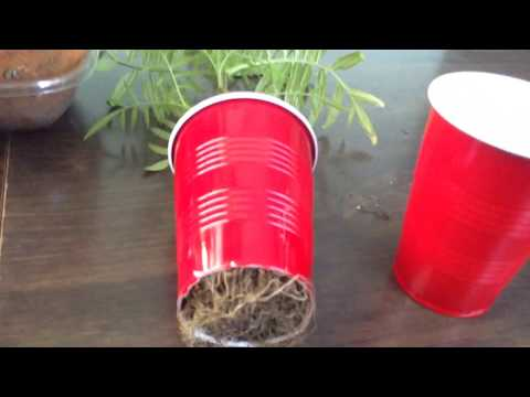 To grow a Giant Root Mass for organic plants using air pruning , No root ball ever !!