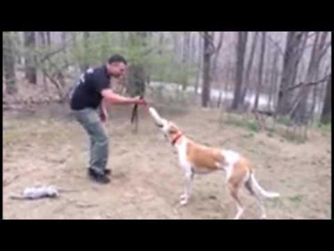 Aggressive and Socially Dominant Greyhound