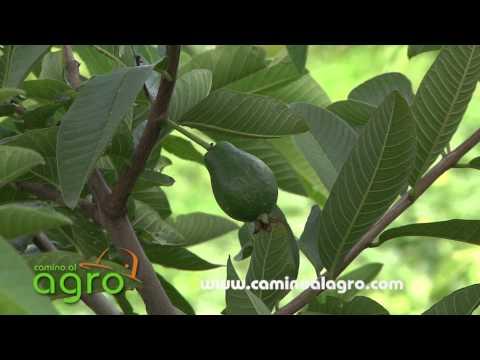 Como cultivar cilantro en venezuela