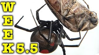 Redback Spiders Week 5.5 Halloween Spider Egg Sacs & Storm EDUCATIONAL VIDEO
