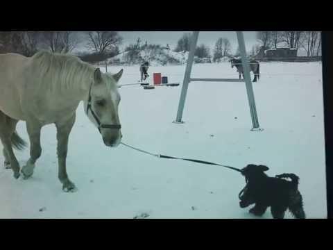 Sõbrad jalutuskäigul / Friends on the walk. - Kerry blue terrier is leading a horse.