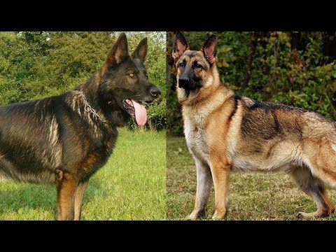 The Different Types of German Shepherds Which One Should You Get