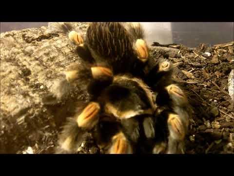 Tarantula Feeding Video 138  - Part 1 - YES !! Finally