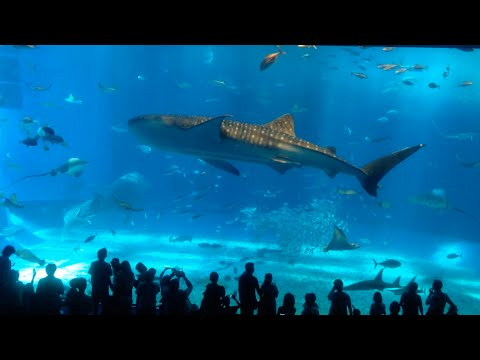 Okinawa Churaumi Aquarium Family Trip 2014