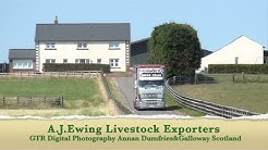 A J Ewing Livestock Exporters Aberdeen Angus gtritchie5