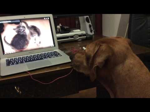 Rhodesian Ridgeback jumped on laptop to see cats