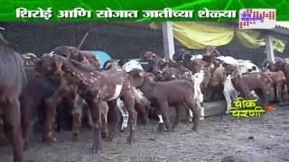 Peek perni - Goat farming in Nashik
