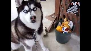 植木鉢が揺れるので怖くて中々ボールが取れないハスキー犬.
