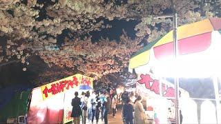 日本一周女ひとり旅273日目。山形県鶴岡公園で桜と屋台とおみくじLive