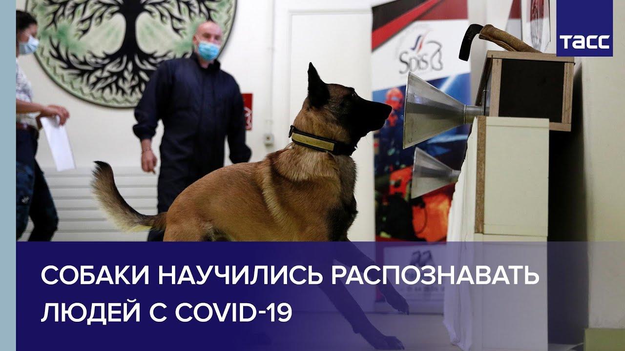 Собаки научились распознавать людей с COVID-19