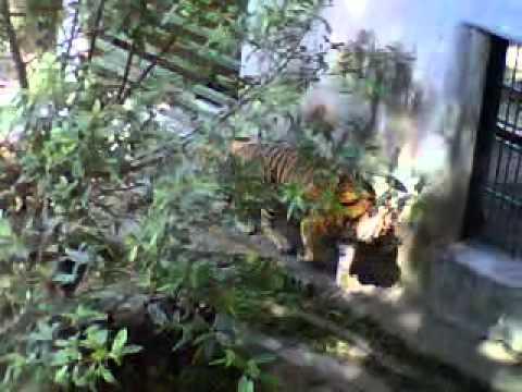 Gembira Loka Zoo, Harimau Sumatera Minta Ayam