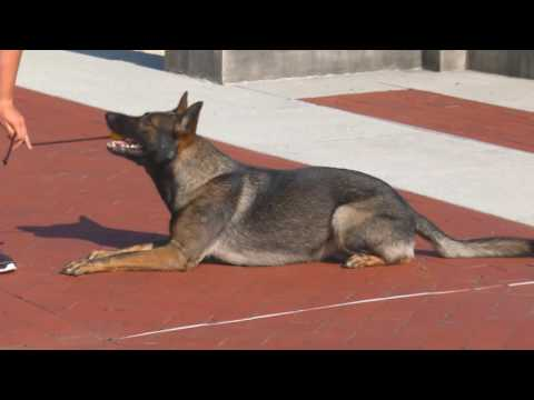 """Personal Protection Dog For Sale """"Iller"""" 20 mo's Obedience Tricks Protection Powerhouse"""