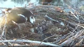 Hatching of Osprey Chick #4 thumbnail
