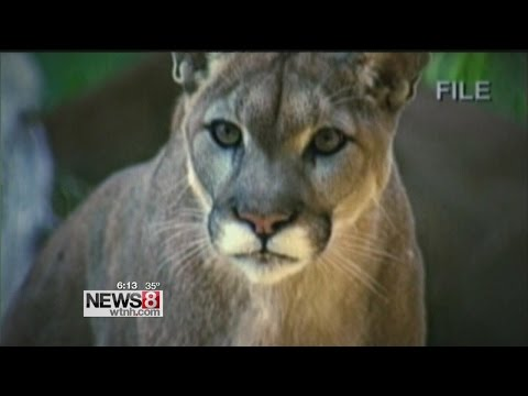 Mountain lions in Eastern Connecticut?