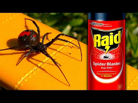 Sneaky Redback Spider Raid Deadly White Christmas Graphic How To Video