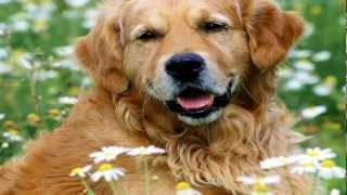 Os 10 Cães Mais Inteligentes (the 10 Most Intelligent Dogs)