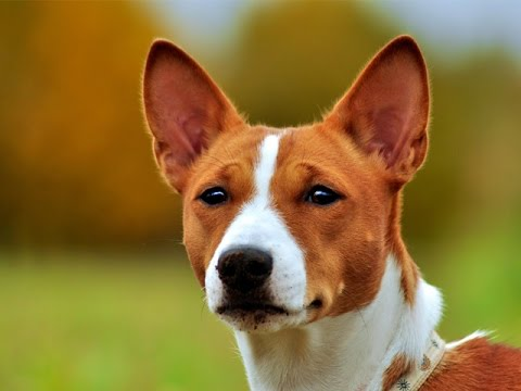 бэсинджер собака фото